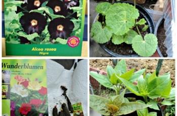 Stockrose Hitam (Alcea Rosea Nigra) dan Mirabilis jalapa (the four o'clock flower) Bunga pukul 4