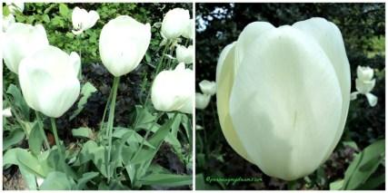 Tampak dekat tulip putih