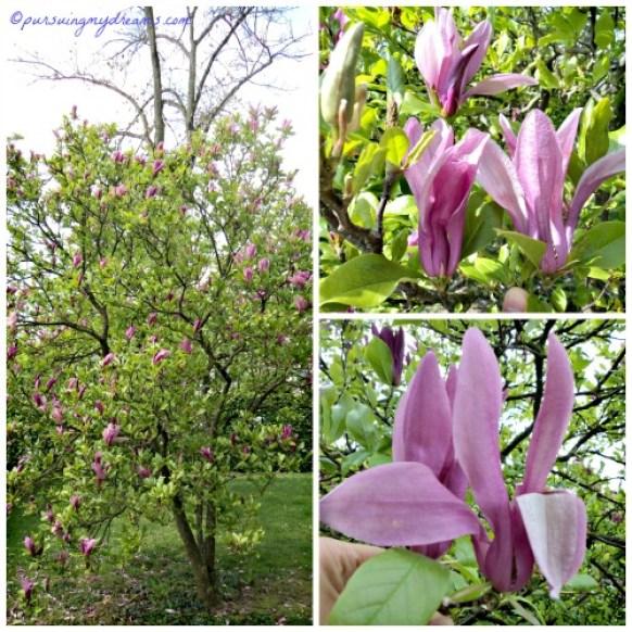 Magnolia liliiflora. Warna ini jarang saya lihat. Umumnya warna pink yang ditanam para warga.