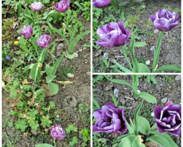 Tulip Ungu dobel Flower