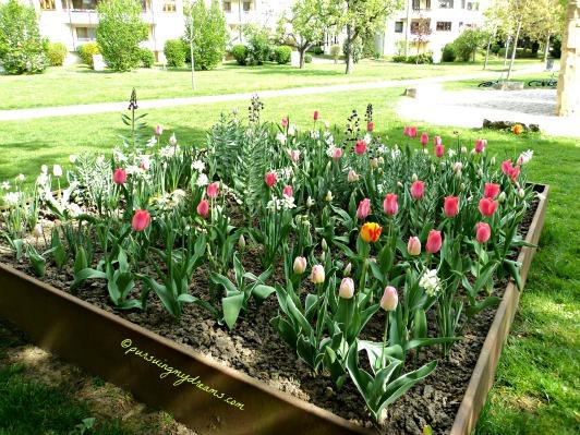 Tulip-tulip di Taman Bad Rappenau