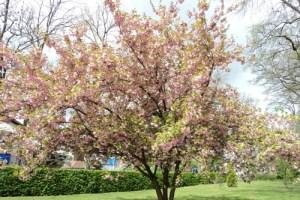 Pohon Sakura di Taman Bad Rappenau, Jerman