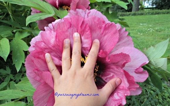 Bunga Peony Raksasa