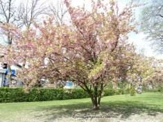 Pink Cherry Blossoms (Sakura) in Bad Rappenau, Germany