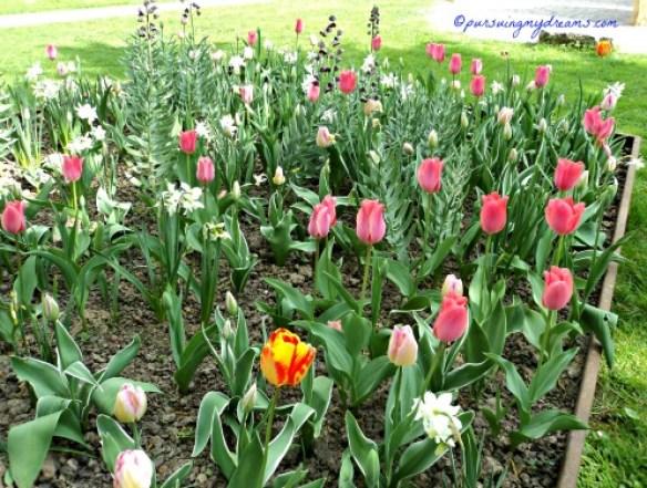 Cantik-cantik perpaduan Warna tulipnya