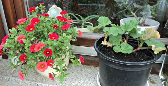 Petunia Mini dikasih Oma, sebelah kanan Geranium dari tahun lalu