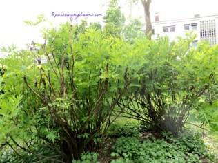 Kalau punya taman rumah yang luas silakan deh tanam Bunga Peoni Ludlowii