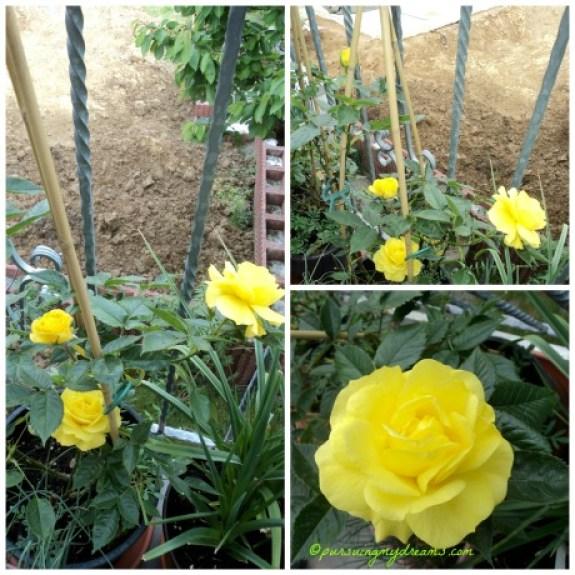 si kuning Friesia Rose yang menawan hati