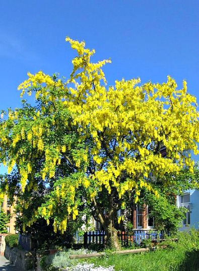 Tanaman Beracun, Jauhkan dari Anak-anak. Golden Rain. Laburnum sp. (not definitely L. anagyroides, all parts of the tree are poisonous. Foto dari Wikipedia