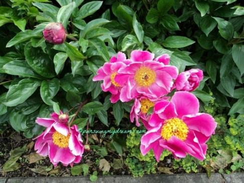 Cantik ya warna pink Peony nya