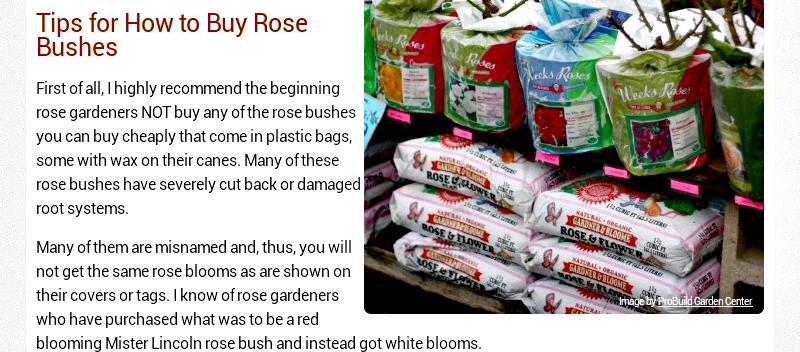 JANGAN beli root mawar yang dilapisi lili, kualitasnya jelek. Sumber gardeningknowhow.com