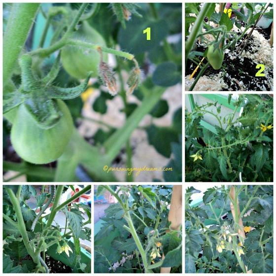 Tomat yang sudah bebruah adalah tomat botol dan tomat lonjong, lainnya baru bakal bunganya yang banyak