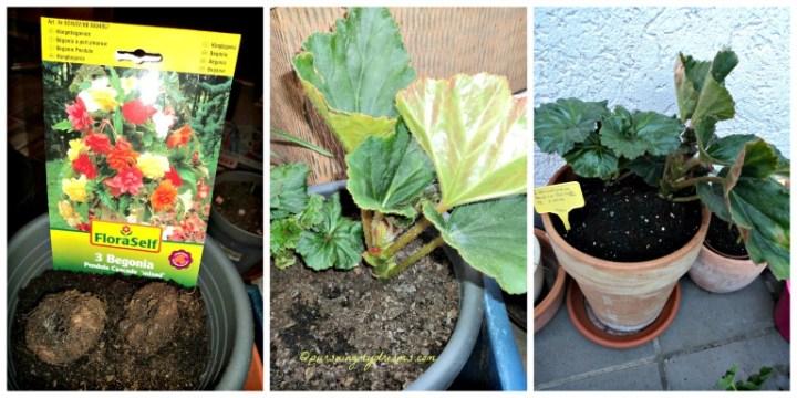 Begonia Gantung Pendula Cascade. Tanam 21 Februari 2014. Paling kanan setelah pindah ke pot lebih besar pada 3 Juni 2014