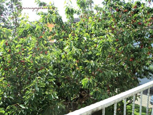 Prunus avium (sweet cherry). Pohon Cherry Tetanggaku sedikit lagi merah matang. Foto 9 Juni 2014