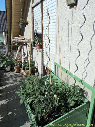 Kebun Tomatku jam 9.15 pagi ini mau ditutupi koran menghindari sengatan matahari