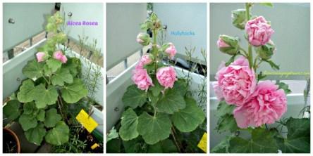 Hollyhocks pink (Alcea Rosea)