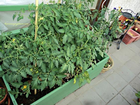 Macam-macam tanaman tomat yang sudah banyak buahnya