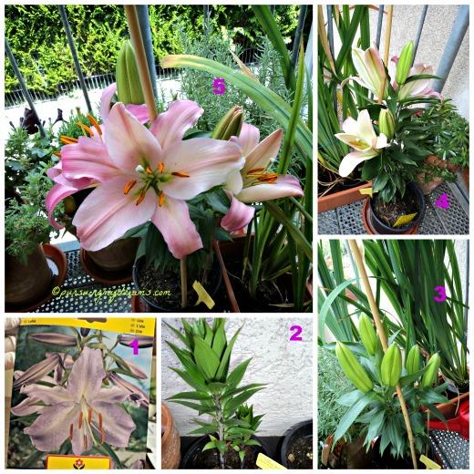 Nanam Bunga Lili Oriental Ungu ternyata pas mekar bunganya Pink. Bunganya besar dan harum