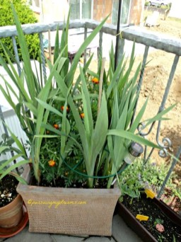 Macam-macam Gladiol tapi belum berbunga