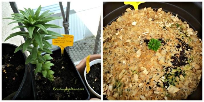 Kiri Easter lily alias Lilium longiflorum