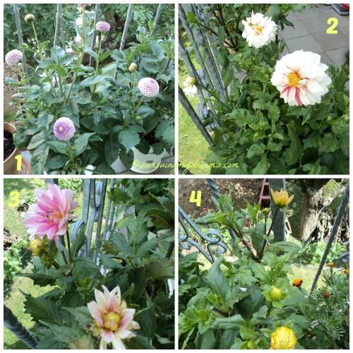4 macam Bunga dahlia