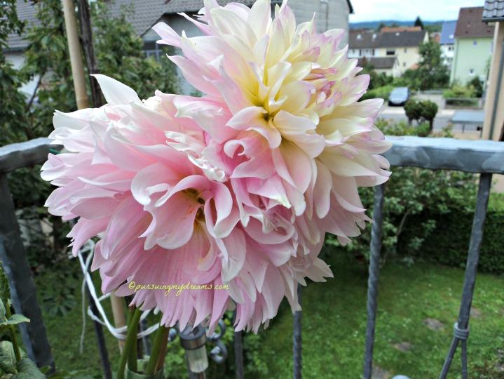 Dahlia xxl convoitise. Dahlia pink besar sekali. 1 tangkai 2 bunga