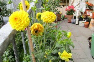 dahlia pompon golden scepter