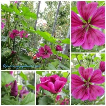 Si ungu bunga Malve yang cantik