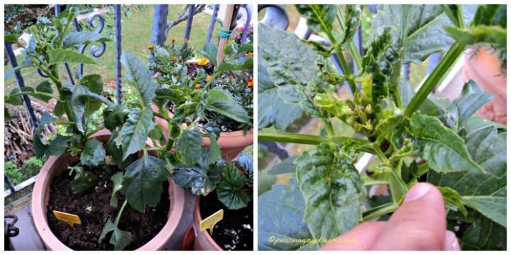 Dahlia xxl convoitise, sebel banget kriting daun-daunnya (2)