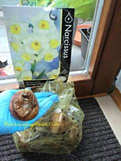 Dafodil atau Narcissus avalanche