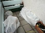 Hujan melulu bisa membuat bibit-bibit tulip ku busuk, jadi saya tutupi potnya