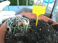 Umbi tulip dan anakannya yang didormant sudah tumbuh akarnya