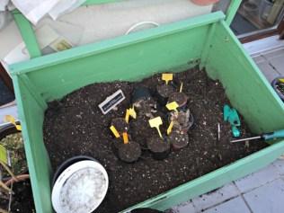 Dibagian dasar green house mini saya dormant banyak bibit tulip