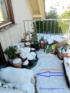 Pot stroberi sudah saya bungkus supaya tidak mati saat musim dingin