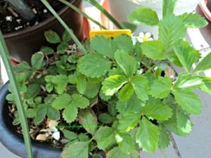 Bunga pertama muncul pada 9 Agustus 2014 berarti 4 bulan setelah ditanam