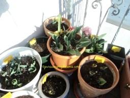 Tulips pada numbuh