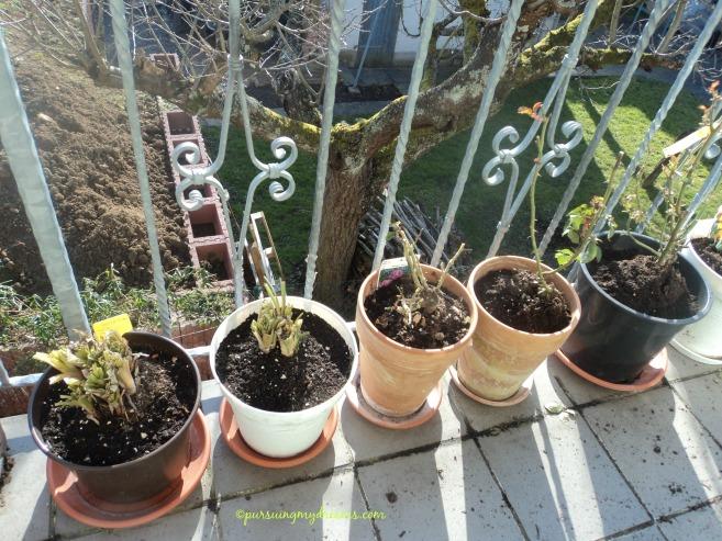 2 pot kiri adalah Kniphofia Tritoma. 3 pot lainnya adalah mawar