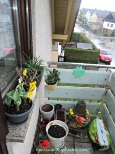 Pojok balkon depan. Tulip parrot sudah keliatan tuh bunganya