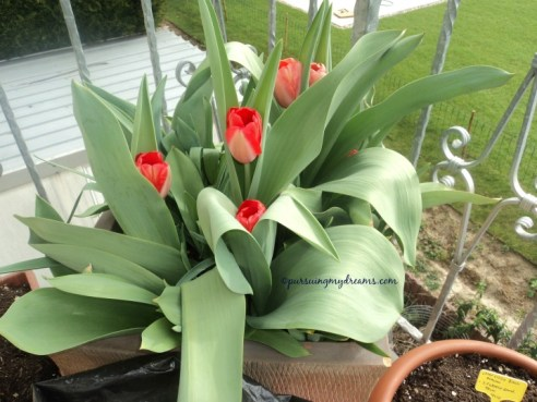 Tulip xxl red and apricot