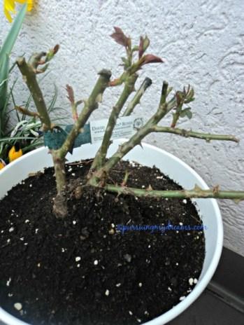 Mawar david austin mulai terbentuk daunnya