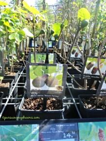 Pohon buah Ara atau di Indonesia dikenal buah Tin