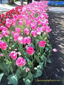 Keukenhof- Beautiful tulips