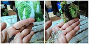 Foto kiri Bibit sawi putih bibitnya sama banget seperti bibit pack coy. Kanan Bibit Selada alias Lactuca sativa