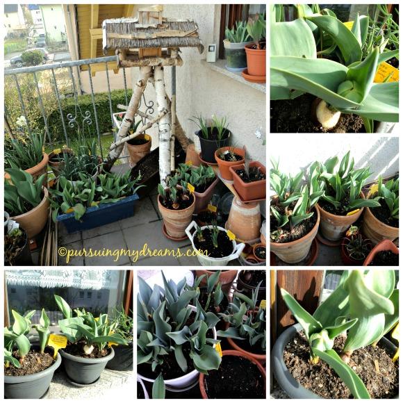 Curhat Berkebun 2015 – Tulip dan Sakura. Berbagai jenis tulip yang saya tanam ketika musim gugur 2014. Mulai tumbuh saat musim semi