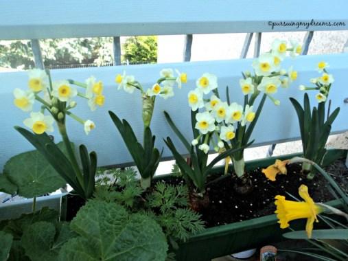 Narcissus avalanche. narcissus nama lainnya dafodil. Jenis ini wangi, apalagi saya nanam 5 biji balkon jadi harum