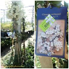 Clematis cartmanii cantik sekali bunganya