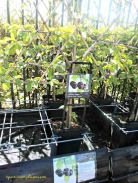 Pohon cerry alias Prunus avium regina