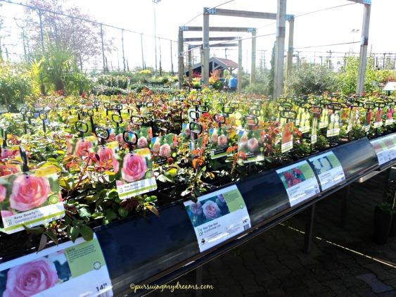 Berbagai mawar di garden center belanda