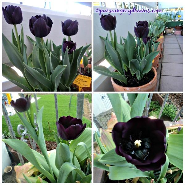 Tulip Hitam yang berhasil mekar 2015. Aslinya tidak hitam pekat begini ko. Entah kenapa pas disorot atau dipotret kamera jadi hitam pekat warnanya.