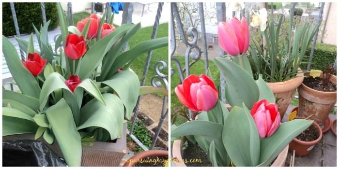 Tulip merah dan pink. yang pink itu dibilangnya warna salmon. Keduanya jenis xxl